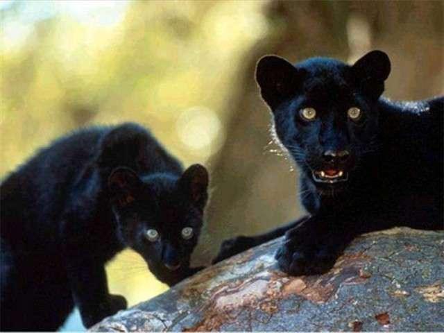 فهود اسود ونمور برية الحيوانات المفترسة feline18.jpg